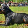 Kladenským strážníkům pomáhá v terénu psí pochůzkář